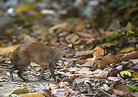 The agouti is a large rodent commonly seen in Costa Rica's jungles.