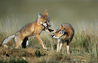 Swift Fox Kits, Colorado