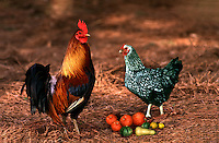 A Sliver laced chicken and Banty rooster stand by fall harvest of squash and pumpkins in barnyard, Missouri USA