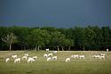 11/06/14 - ORLEAT - PUY DE DOME - FRANCE - Troupeau de vaches allaitantes de race Charolaise - Photo Jerome CHABANNE