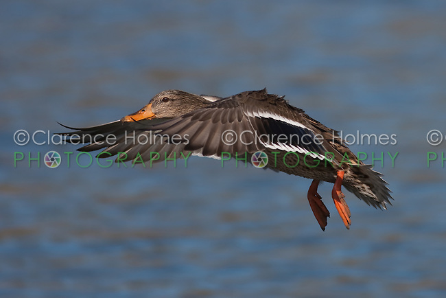 Mallard (Anas platyrhynchos) - Female gliding in for a water landing