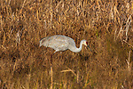 Sandhill crane feeding in a field at Crex Meadows.