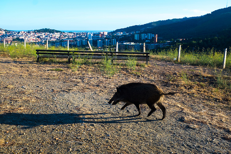 People feeding porc senglar, or wild boar at the Mirador de Montbau in the Serra de Collserola, above Barcelona (1.6 million people), Catalonia, Spain. Feeding the wild pigs - which can be a dangerous activity, is actively discouraged by the authorities, as it leads to population booms, and the boar also get used to human food, meaning they come into suburban areas to feed at night. In September 2016, researchers from Universitat Autònoma de Barcelona (UAB) plan to start vaccinating some of the port senglars with contraceptives, to cut the population growth. Authorities estimate that the sustainable population for the Parc Natural de Collserola is around 300-400 - however, the current population is could have reached 1,500. Authorities have been hunting the pigs with dogs in order to control the population.