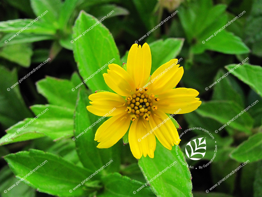 Breath-taking beautiful delicate bright cute Butter Daisy flower or arnica in lush green bushes