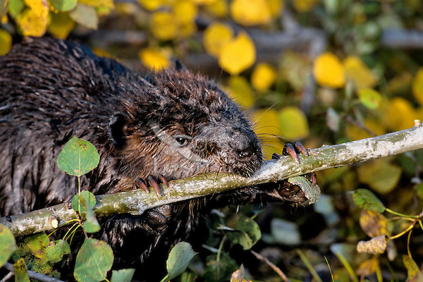North American Beaver (Castor canadensis) cutting branch.