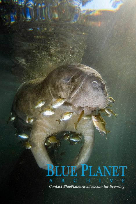 West Indian manatee, Trichechus manatus latirostris, Three Sisters Springs, Crystal River, Florida, USA.