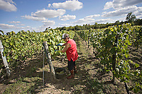 Farmers harvesting grapes in Cognac Charente France..©shoutpictures.com..john@shoutpictures.com