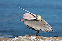 Brown Pelican - Pelicanus occidentalis - Californian race