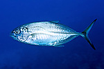 Carangoides crysos, Blue runner, Florida Keys