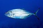 Caranx crysos, Blue runner, Florida Keys