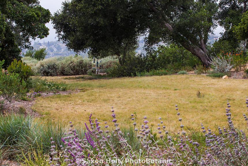 Bouteloua gracilis - blue grama drought tolerant California native grass lawn in summer-dry garden Santa Barbara California