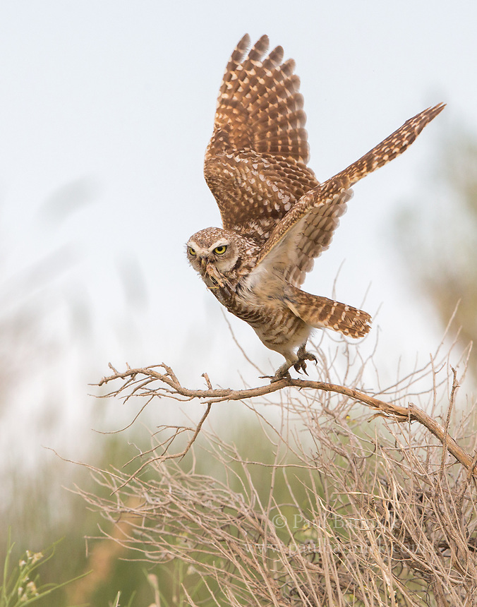 A female Burrowing Owl flys towards her nest to deliver a grasshopper to her young waiting at the nest entrance. (Idaho)