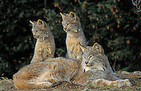 Lynx with kittens in fir forest. 4 months old. Autumn.  North America. Felis lynx canadensis.
