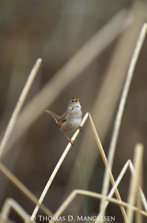Marsh Wren singing from its perch on a reed.