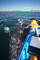 pr7196-D. Gray Whale (Eschrichtius robustus). 40-foot-long adult upside down, seemingly playing with the boat- and the lucky tourist (model released). Magdalena Bay, Baja, Mexico. .Photo Copyright © Brandon Cole. All rights reserved worldwide.  www.brandoncole.com..This photo is NOT free. It is NOT in the public domain. This photo is a Copyrighted Work, registered with the US Copyright Office. .Rights to reproduction of photograph granted only upon payment in full of agreed upon licensing fee. Any use of this photo prior to such payment is an infringement of copyright and punishable by fines up to  $150,000 USD...Brandon Cole.MARINE PHOTOGRAPHY.http://www.brandoncole.com.email: brandoncole@msn.com.4917 N. Boeing Rd..Spokane Valley, WA  99206  USA.tel: 509-535-3489