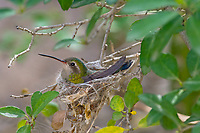 Broad-billed Hummingbird (Cynanthus latirostris) female incubating eggs in nest.  Southern Arizona.  Feb-March.