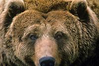 Alaskan Coastal Brown Bear or Grizzly Bear