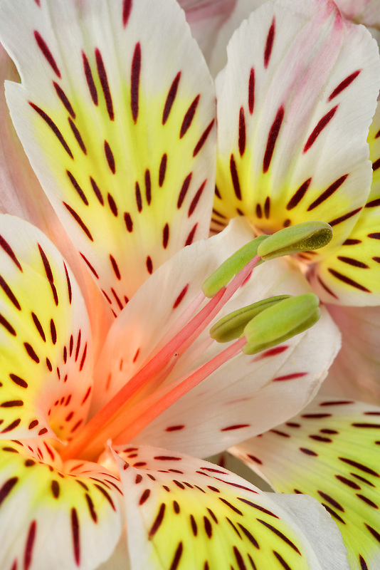 Close up of Peruvian Lily (Sp Alstroemeria).