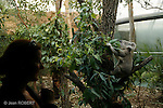 Sydney.Koalas dans le zoo de Sydney
