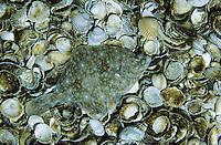 Scholle, Goldbutt, Pleuronectes platessa, Plaice, Plie d'Europe, Plattfisch