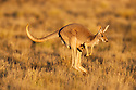Australia,  NSW, Sturt National Park; red kangaroo female with joey looking out of pouch, hopping, (Macropus rufus); the red kangaroo population increased dramatically after the recent rains in the previous 3 years following 8 years of drought