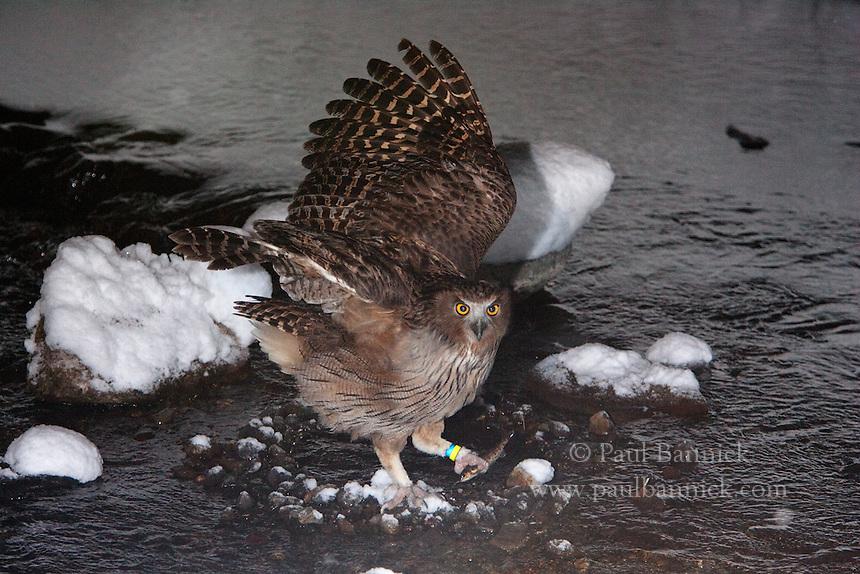 A Blakiston's Fish Owl,  Ketupa blakistoni, catches a fish in a river on the Japanese island of Hokkaido.