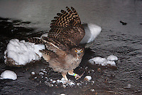 A Blakiston's Fish Owl,  Ketupa blakistoni, catches a fish in a river on the Japanese island of Hokkaido.