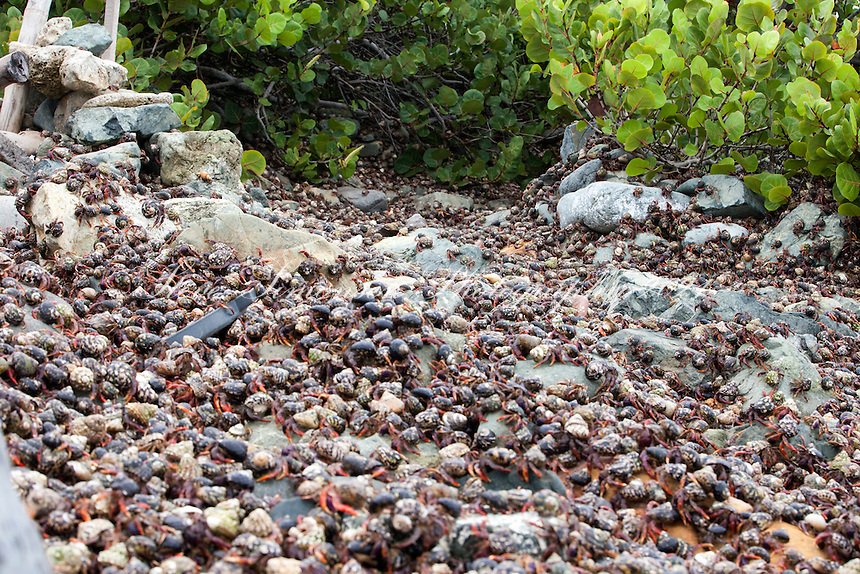 Hermit (Soldier) Crab migration.Nanny Point, St. John.U.S. Virgin Islands