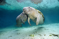 Florida manatee, Trichechus manatus latirostris, a subspecies of West Indian Manatee, Trichechus manatus, mother and calf, Three Sisters Springs, Crystal River, Florida, USA