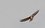 2017 Hawk in Sparks