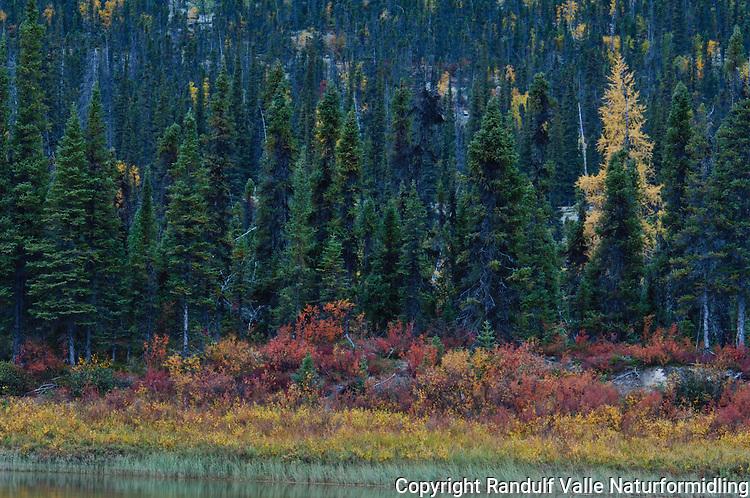 Høstfarger i skog ---- Fall colours in forest