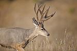 a mule deer buck in velvet in montana