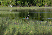 Sandhill cranes swimming