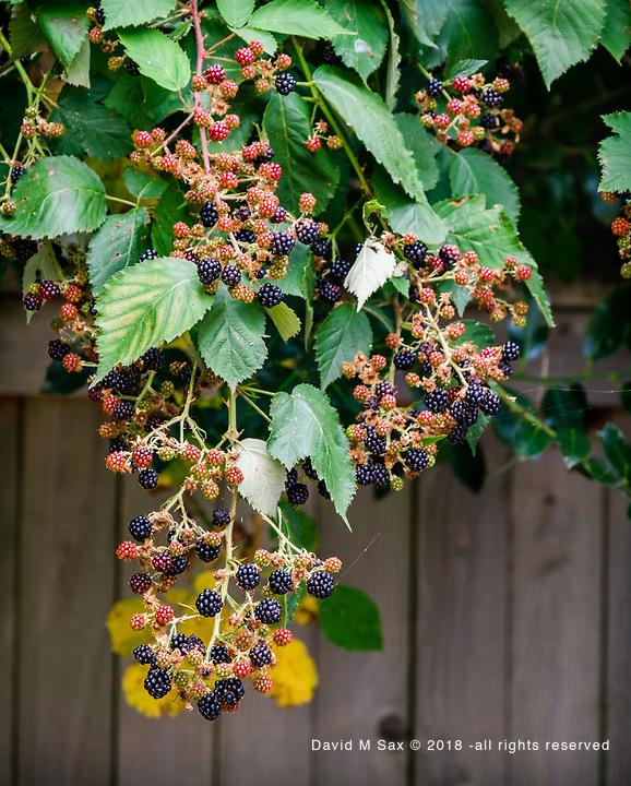 9.6.17 - Berry, Berry, Quite Contrary...