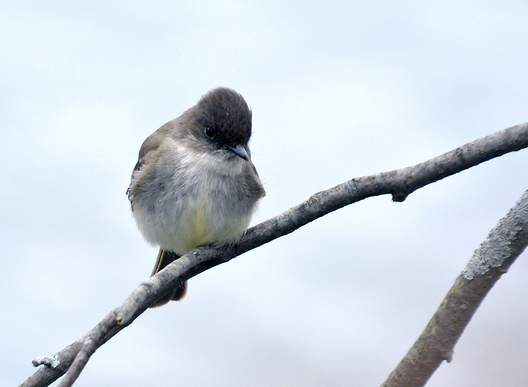 Eastern Phoebe, (one of the 'signs of spring') seen during a walk in the Esopus Bend Nature Preserve in Saugerties, NY, on Friday, April 7, 2017.. Photo by Jim Peppler. Copyright Jim Peppler/2017.