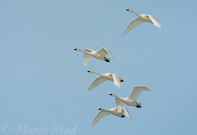 Tundra Swans (Cygnus columbianus) flock in flight, New York, USA
