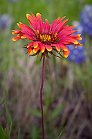 Wildflowers such as the Indian Blanket line the roadsides in the Texas Hill Country near Fredericksburg Texas.