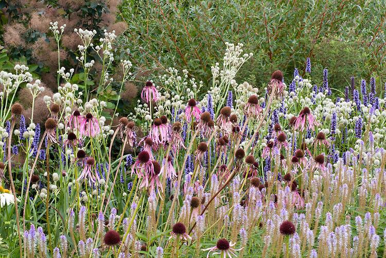 Echinacea pallida, Eryngium yuccifolium + Veronicastrum virginicum Lavender, Agastache Black Adder, in spiky plants planting combination, Piet Oudolf border