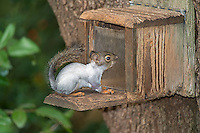 Douglas Squirrel (white morph), Washington