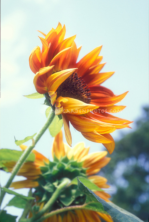 Sunflowers, Helianthus annuus against blue sky, macro closeup of bloom yellow and orange brown