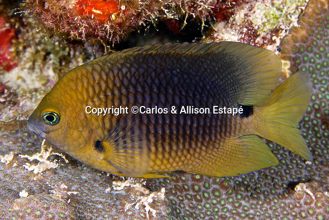 Stegastes planifrons, Threespot damselfish, Florida Keys