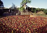 coffe beans in Heredia