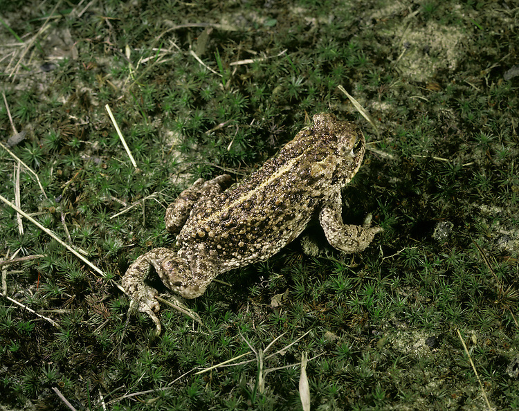 Natterjack Toad Epidalea calamita Local and scarce, and legally protected in Britain. Has a rather flattened body, short hind legs and greenish yellow iris. Burrows walk and walks rather than hops. Breeds (mainly April-June) in seasonally drying and sometimes slightly saline pools. Adult has diagnostic pale yellowish vertebral stripe. Skin is warty and ground colour can be yellowish brown or greenish brown. Back is usually darker than flanks and marbled with dark spots; underparts are creamy white. Juvenile resembles a tiny, large-headed adult with reddish warts. Male utters a purring croak, often after dark, when courting. Rare in Britain, found mainly on lowland heathlands and coastal dunes, but also on stabilised saltmarshes