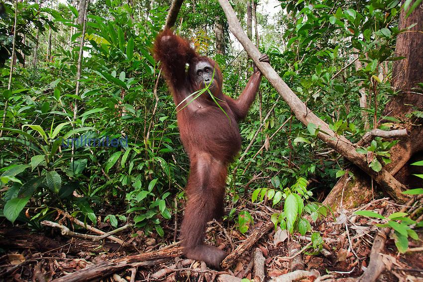 Bornean Orangutan female standing on her hind legs  (Pongo pygmaeus wurmbii), Camp Leakey, Tanjung Puting National Park, Central Kalimantan, Borneo, Indonesia.