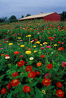 Field of zinnias with barn in background