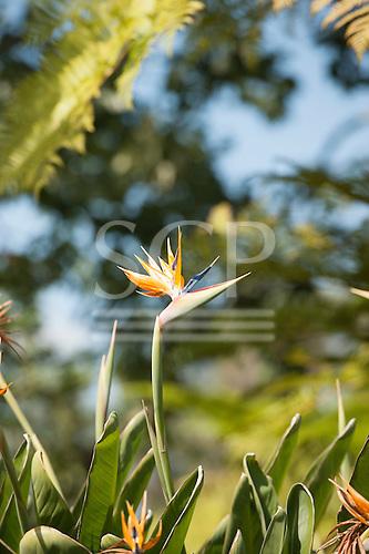 Huntington gardens, Pasadena, California, USA. Strelitzia reginae - Bird of Paradise flower, Crane flower. Member of the Heliconia group - Strelitziaceae. Single cultivated bloom.
