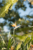 Huntington gardens, Pasadena, California, USA. Strelitzia reginae - Bird of Paradise flower, Crane flower. Member of the Heliconia group - Strelitziaceae. Single cultivated bloom.