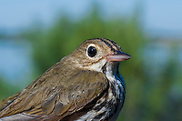 Ovenbird (Seiurus aurocapillus) rests on Lake Erie shoreline, spring migration, North America.