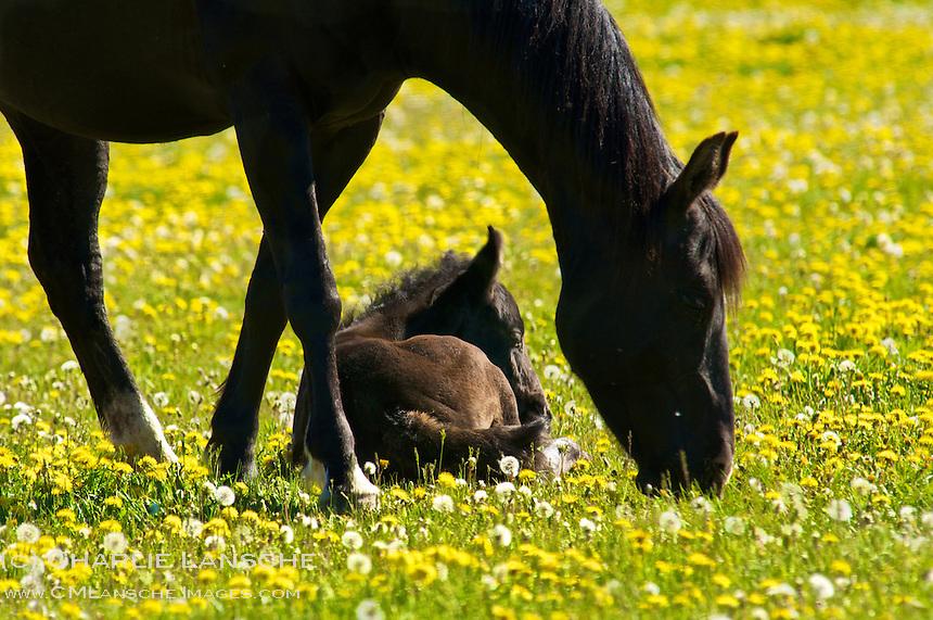 Mare and colt near Oakley, Utah.