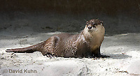 0508-1006  Cape Clawless Otter (African Clawless Otter or Groot Otter), Aonyx capensis capensis  © David Kuhn/Dwight Kuhn Photography.